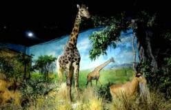 世界动物标本馆一角